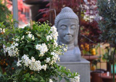 Buddha Solanum jasminoides