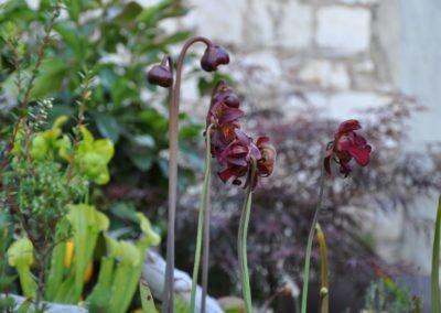 Carnivoren Fleischfresser Blüte