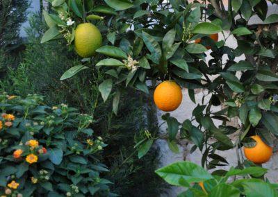 Citrus sinensis Orangenbaum