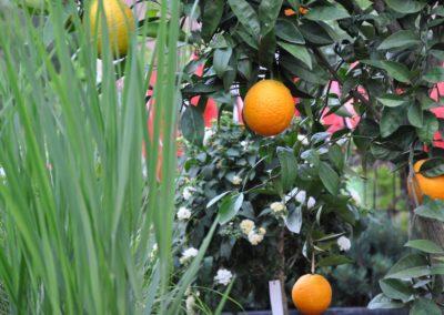 Orangenbaum Panicum Nordwind