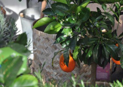 Orangenbaeumchen Duften Suess
