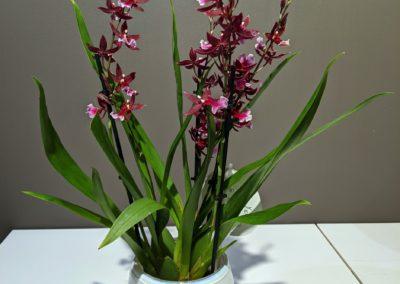 Orchidee Kleinbluetig Dunkelrot