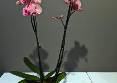 Schmetterlings Orchidee Pink