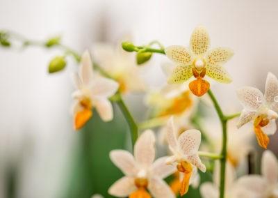 Speth Zimmerpflanzen Orchidee