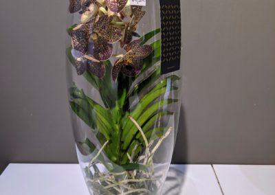 Vanda Orchidee im Glas