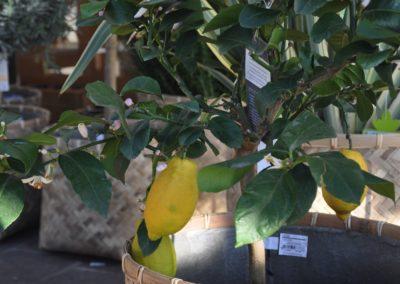 Zitronenbaum Fuer Terrasse